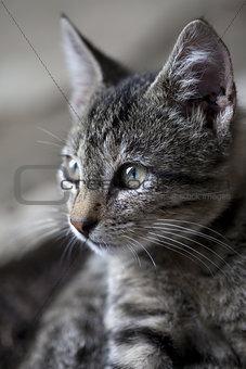 Portrait of gray kitten