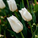 White sensual tulip