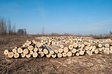 Cut poplar logs