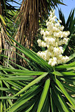 White Flowers Yucca Plant
