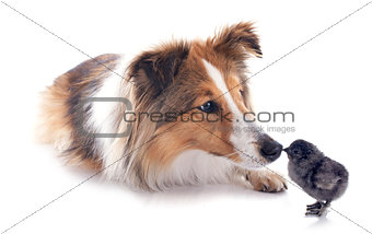 shetland dog and chick