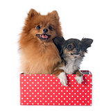pomeranian spitz and chihuahua