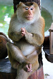 Praying monkey