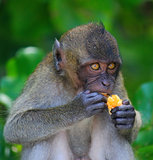 Monkey enjoying the orange