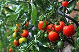 natural tomatoes