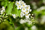 Beautiful spring blossoming bird cherry  tree