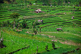 Terraced rice fields. Bali, Indonesia.