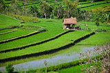 Terraced rice fields with old hut. Bali, Indonesia.