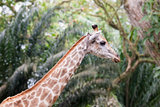 Giraffe in Tropical Zoo