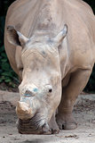 White Square-Lipped Rhinoceros
