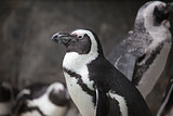 African Penguin Closeup Portrait