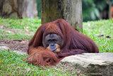 Male Orangutan Resting