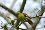 male Thick-billed Green-Pigeon (Treron curvirostra)