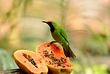 male Golden-fronted Leafbird (Chloropsis aurifrons)