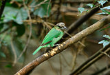 green-eared barbet