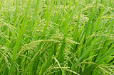 Green  rice in the rice field