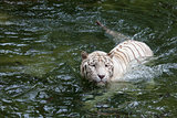 White Bengal Tiger Swimming