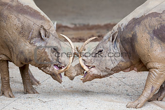 Babirusa Wild Boar in Battle