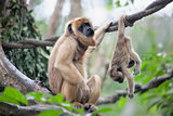 Mother and Baby Howler Monkey