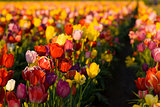 Planting RowColorful Flowers Tulip Producing Farm Agriculture