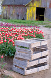 Vertical Composition Multiple Colors Tulip Bulb Farm Flowers Bar