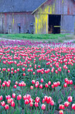 Tulip Farm Barn Scene Flower Field Skagit Valley Washington