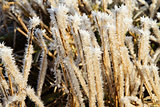 Closeup of frosty grass