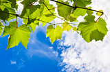 Sunny grape leaves on a branch against the blue cloudy sky