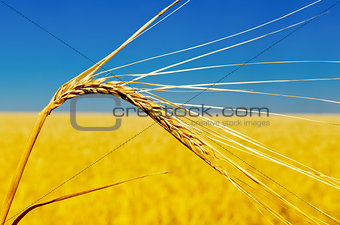 one golden ear of wheat