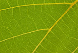 texture of the grape leaf