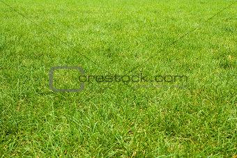 green grass texture from golf course