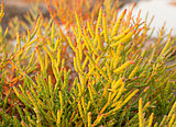 Halophyte- plant that grows in waters of high salinity