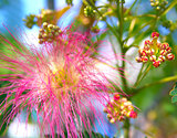 Albizia julibrissin - silk tree