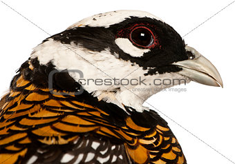 Portrait of Male Reeves's Pheasant, Syrmaticus reevesii, can grow up to 210 cm long, in front of white background