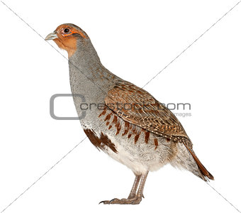 Grey Partridge, Perdix perdix, also known as the English Partridge, Hungarian Partridge, or Hun, a game bird in the pheasant family, standing in front of white background