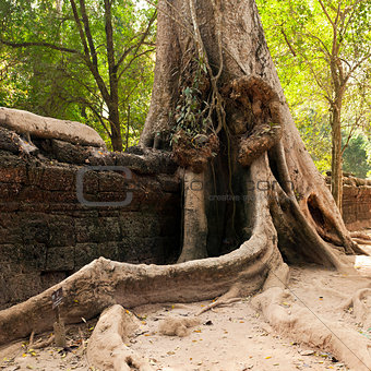Old wall and tree. Ta Prohm temple, Cambodia