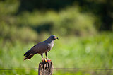 Snail kite eating a crab