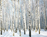 Birches in sunlight in January