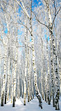 Sunny winter birch forest
