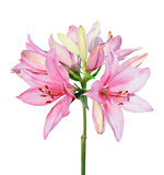 Beautiful pink lily isolated on white background