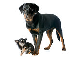 young rottweiler and chihuahua