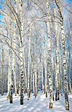 Beautiful winter birches in sunlight