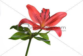 Single fresh red tiger lily on white