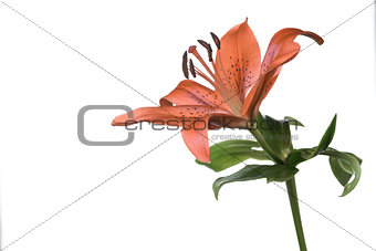Single fresh orange tiger lily on white
