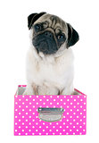 young pug in box