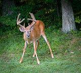 Angry buck