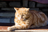 Red cat in the sun