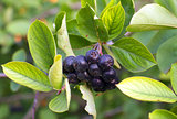 Black Chokeberries (Aronia)