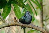 female Nicobar Pigion (Caloenas nicobarica)
