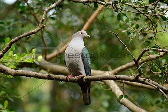 Green Imperial Pigeon (Ducula aenea)